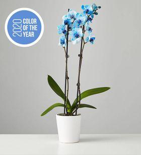 Large Phalaenopsis Orchid: Blue