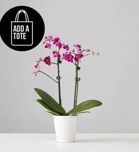 Small Phalaenopsis Orchid: Purple