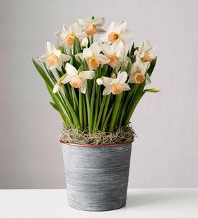 White Daffodil Bulbs