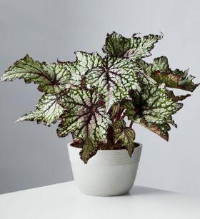 Painted Leaf Begonia (Rex Begonia)
