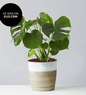 Monstera Deliciosa Floor Plant