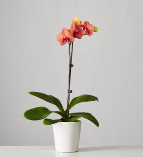 Large Phalaenopsis Orchid: Orange